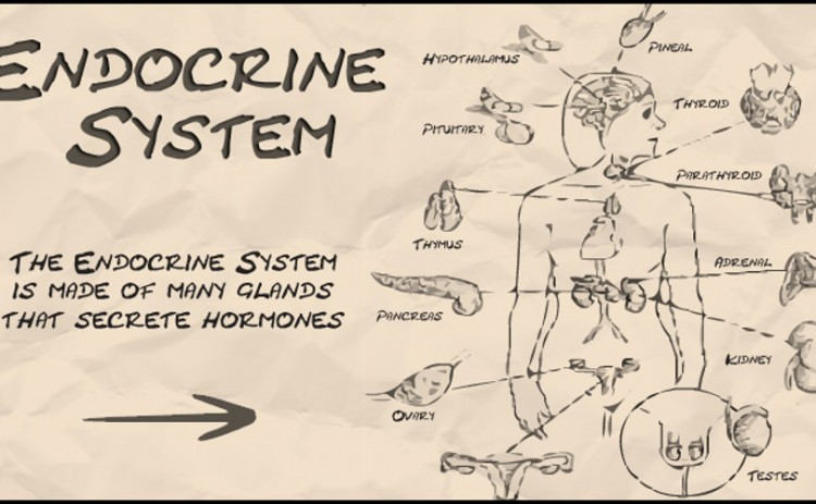 what-is-the-main-function-of-the-endocrine-system