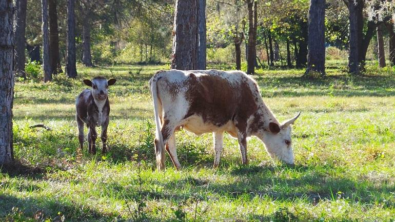 Винаги търсете коластра от свободно пасящи крави.